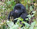 Susa group, mountain gorillas - Flickr - Dave Proffer.jpg