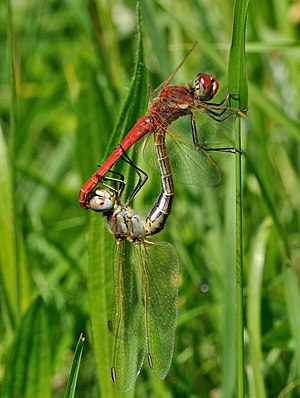 Mating wheel of Red-veined Darters