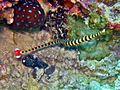 Syngnathidae - Doryrhamphus dactyliophorus.jpg