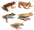 Systematics-of-treefrogs-of-the-Hypsiboas-calcaratus-and-Hypsiboas-fasciatus-species-complex-(Anura-ZooKeys-370-001-g005.jpg