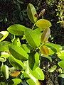 Syzygium caryophyllatum 03.JPG