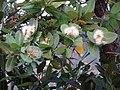 Syzygium cordatum (9774260235).jpg
