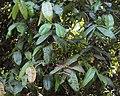 Syzygium mundagam 04.JPG