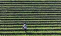Tabanan-Regency Indonesia Rice-paddies-03.jpg