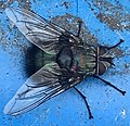 Tachinid bristle bum fly from above.jpg