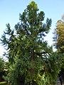 Taiwania cryptomerioides Lucca 01.jpg
