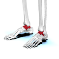 Talus bone 04 anterolateral view.png