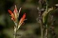 Tapioca flower (4108760673).jpg