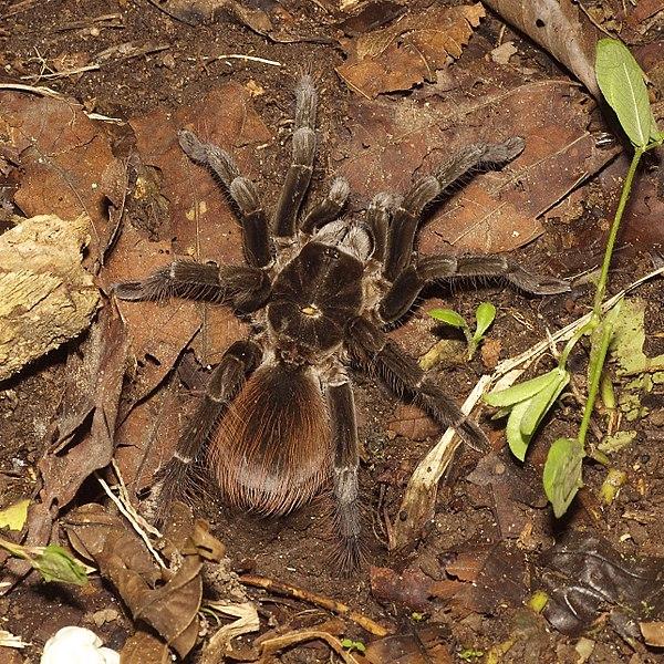 File:Tarantula (15061914133).jpg