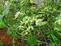 Tarenna asiatica - Asiatic Tarenna 11.jpg