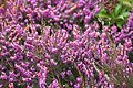 Tatton Park 2015 20 - Heather.jpg