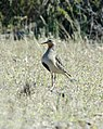 Tawny-throated Dotterel, Biedma, Chubut, Argentina.jpg