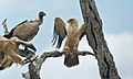 Tawny Eagle (Aquila rapax) and White-backed Vultures (Gyps africanus) (6001457825).jpg