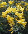 Teline canariensis.jpg