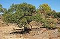Terminalia hadleyana subsp. carpentariae tree.jpg