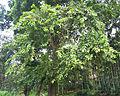 Terminalia paniculata canopy.jpg