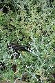 Teucrium fruticans - Longwood Gardens - DSC01217.JPG