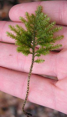 Fuchsschwanzmoos (Thamnobryum alopecurum)
