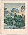 "The Blue Egyptian Water Lily, from ""The Temple of Flora, or Garden of Nature"" MET DP861134.jpg"