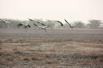 The Indian Crane.jpg