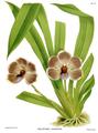 The Orchid Album-02-0030-0057-Pescatorea lehmanni.png