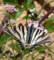 The Scarce Swallowtail (Iphiclides podalirius) (7466756266).jpg