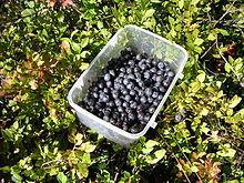 bilberry wikipedia