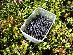 meaning of bilberry