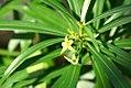 Thevetia peruviana 0zz.jpg
