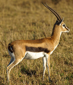 Thomsons-gazelle.jpg