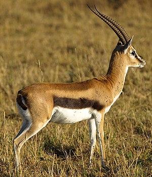 Antilopinae - Thomson's Gazelle (Eudorcas thomsoni)