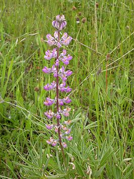 Threatened kincaids lupine flower.jpg