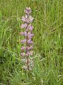Threatened kincaids lupine flower.jpg