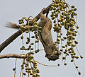 Three-Striped Palm Squirrel (Funambulus palmarum) feeding on Lannea coromandelica fruits W IMG 7816.jpg