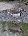 Three-banded Plover (or Three-banded Sandplover), Charadrius tricollaris, at Marievale Nature Reserve, Gautent, South Africa (31066049101).jpg