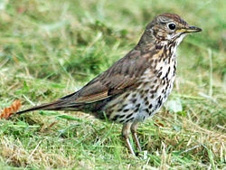 Thrush, song 06-03 SCOT.jpg