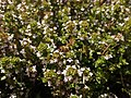Thymus vulgaris 2020-06-06 9348.jpg