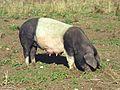 Tier Mutterschwein schwarz rosa Schwäbische Alb Deutschland.jpg