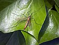 Tiger cranefly (49977286431).jpg