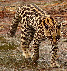 Ocelot Tygrysi Wikipedia Wolna Encyklopedia