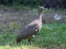 Elegant Crested Tinamou Wikipedia