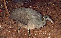 Tinamus solitarius