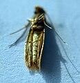 Tineola bisselliella 5311.JPG