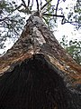 Tingle tree - Valley Of The Giants - Walpole-Nornalup National Park - 1.jpg