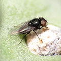 Tiny fly on jumping cholla (13999711686).jpg