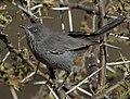 Titbabbler Chestnut-vented 2010 07 18 09 Alan Manson Weenen.jpg