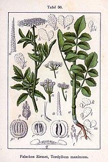 <i>Tordylium maximum</i> Species of flowering plant