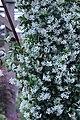 Trachelospermum jasminoides IMG 0200.jpg
