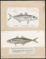 Trachurus trachurus - 1700-1880 - Print - Iconographia Zoologica - Special Collections University of Amsterdam - UBA01 IZ13500351.tif
