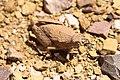 Trachypetrella anderssonii - Stone grasshopper-1530 - Flickr - Ragnhild & Neil Crawford.jpg